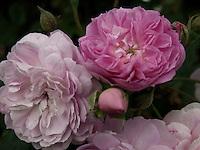 BOGOTÁ-COLOMBIA-15-01-2013. Rosa Cecilita, rosa lila. Rose Cecilita, rose lilac. (Photo:VizzorImage)