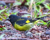 Yellow-bellied siskin male