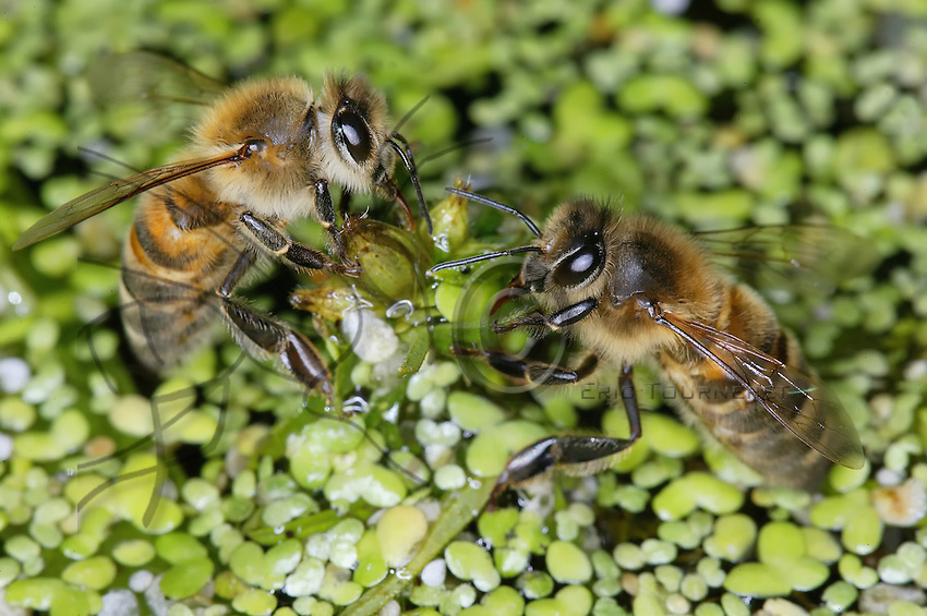 Sur des lentilles d'eau, des abeilles remplissent leur jabot pour rapporter l'eau à la ruche. Les besoins d'une ruche en plein été sont de cinq à six litres par jour. Cette eau est principalement utilisée pour la nourriture larvaire mais également pour les abeilles adultes.