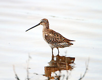 Long-billed dowitcher molting to breeding plumage in early April