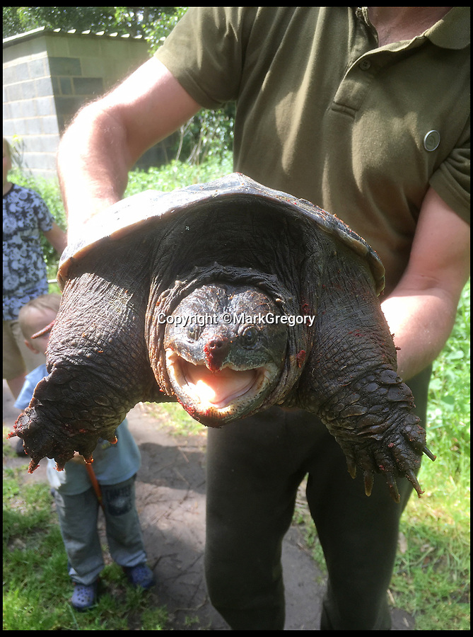 BNPS.co.uk (01202 558833)<br />Pic:     MarkGregory/BNPS<br /> <br /> A young angler has been lauded for capturing an enormous turtle that had been wreaking havoc at a carp fishing lake.<br /> <br /> Myrtle the Turtle had previously been flying under the radar of bosses at Mesters Lake near Scunthorpe, Lincs, biting the tails off tench fish.<br /> <br /> The mystery of what was causing the gruesome injuries was stumping experts before Myrtle was discovered by four-year-old Connor Brocklesby.