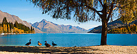 An Panoramic Photo of the Ducks Enjoying the View over an Autumnal Lake Wakatipu at Queenstown, South Island, New Zealand