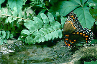 Red spotted purple Butterfly drinking from water collected in the indentation of a rock