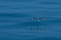 Laysan Albatross on take off, north east of Japan