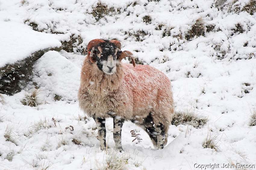 Swaledale ram in the snow, Bentham, North Yorkshire....Copyright..John Eveson, Dinkling Green Farm, Whitewell, Clitheroe, Lancashire. BB7 3BN.01995 61280. 07973 482705.j.r.eveson@btinternet.com.www.johneveson.com