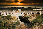Black-browed albatross (Diomedea melanophris), Steeple Jason Island, Falkland Islands, UK<br />