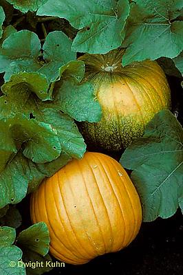 HS24-088c  Pumpkin - in garden - Connecticut Field variety