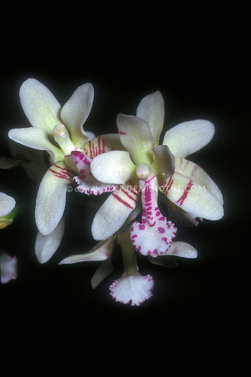 Sedirea japonica Orchid Species