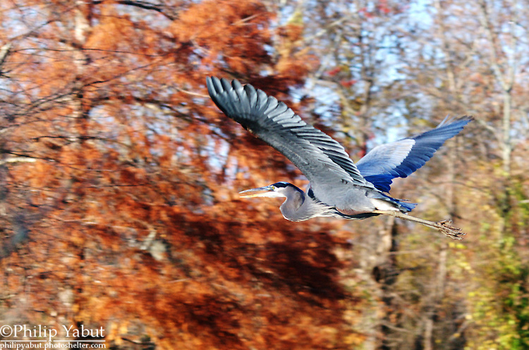 A great blue heron (Ardea herodias) flies over Kenilworth Marsh.