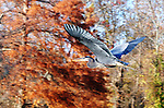 A great blue heron (Ardea herodias) flies over Kenilworth Marsh.