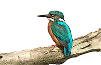 Kingfisher - Alcedo atthis. L 16-17cm. Dazzling bird with dagger-like bill. Perches on branches overhanging water and plunge-dives after small fish. Flies low over water on whirring wings. Excavates nest burrow in riverbank. Sexes are separable. Adult male has orange-red underparts, mainly blue upperparts with electric-blue back. Legs and feet are red and bill is all-dark. Adult female is similar but base of lower mandible is flushed red. Juvenile is similar to adult but bill tip is pale. Voice Utters high-pitched call in flight. Status Widespread resident of streams and lakes, commonest in lowland areas.