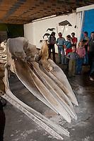 Skelett, Knochen eines Pottwal, Pott-Wal, Pott - Wal, riesiger Schädel, Besuchergruppe in einer Ausstellung über Wale in Andenes, Nord - Norwegen, Physeter macrocephalus, Physeter catodon, Potwal, Cachalot, Kaschelot sperm whale, great sperm whale, cachalot