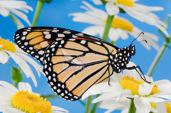 MONARCH BUTTERFLY (Danaus plexippus) on Shasta Daisy (Leucanthemum superbum). Summer. North America.