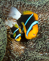 A pair of Orangefin Anemonefish, Amphiprion chrysopterus, snuggle among tentacles of their host anemone. Solomon Islands, Pacific Ocean
