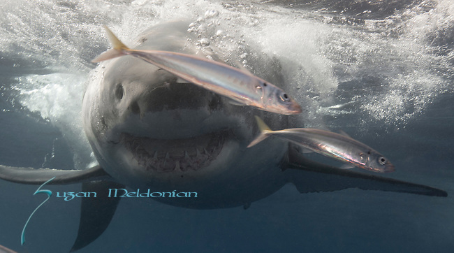 Great Whites of Guadalupe, MX