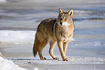 Coyote in winter