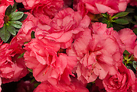 Rhododendron 'Red Magnificence' azalea with double red flowers that rebloom. RLH1-10P18