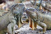 Green iguanas (Iguana iguana), also known as common iguana or American iguana in Costa Rica. photo by Trevor Collens.