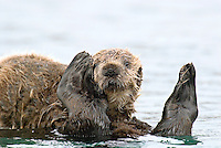 Sea Otter (Enhydra lutris) pup riding on mom's tummy.  Pup has just finished nursing.  Prince William Sound, Alaska.