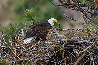 Bald Eagle Nest (Haliaeetus leucocephalus)--adult with ten to twelve day old eaglet in tall ponderosa pine tree.  Oregon.  April.