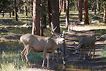 mule deer, Odocoileus hemionus, buck, mulie, road, puddle, drink, water, wildlife, animal, Bear Lake Road, Rocky Mountain National Park, Colorado, USA