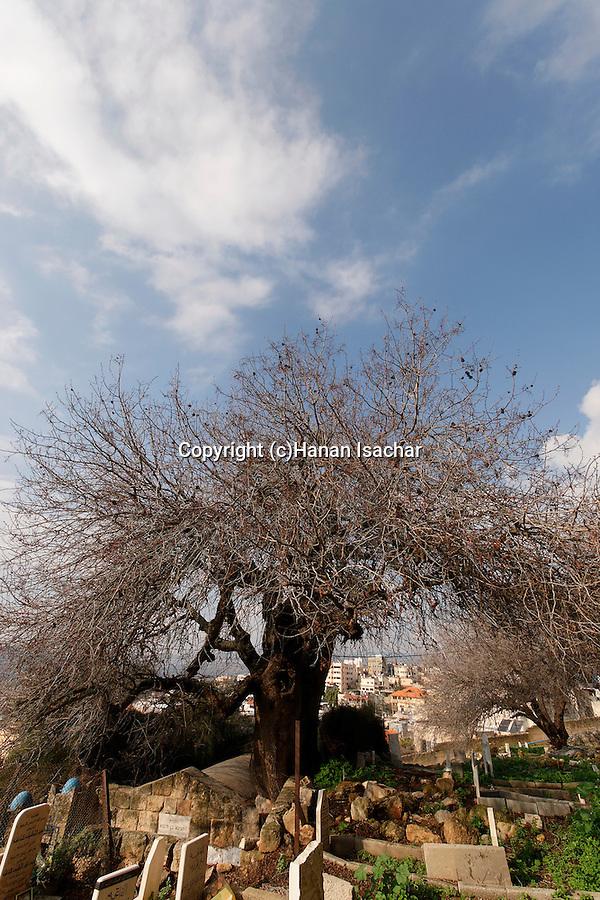 Israel, the Lower Galilee. Atlantic Pistachio tree in Arabe'