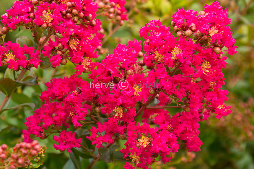 Lilas des Indes (Lagerstroemia indica) // Lagerstroemia indica (Crape myrtle, Crepe myrtle)