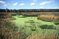 EUTROPHICATION<br /> Marsh w/Algae, Flagstaff, AZ<br /> Cultural or anthropogenic eutrophication is water pollution caused by excessive plant nutrients. Runoff from agriculture, urban fields, golf courses as well as sewage contribute these nutrients.