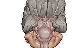 An inferior view of the brain. Royalty Free
