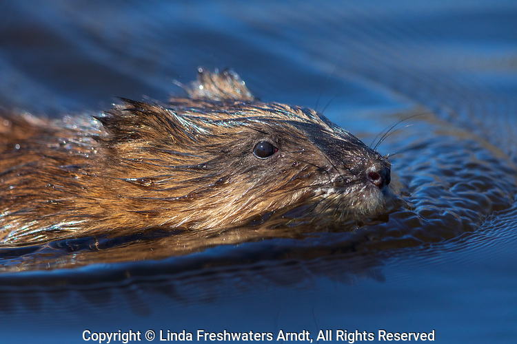 Close up of a muskrat swimming in northern Wisconsin.