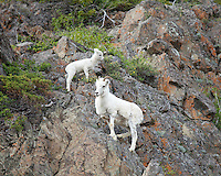 Dall sheep mother and lamb on rock cliff, Alaska.