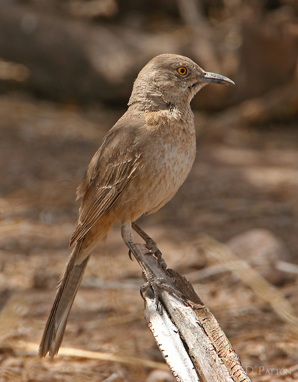 Adult Bendire's thrasher