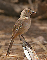 Mockingbirds, Catbird, Thrashers