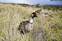 Hawaiian nene geese in Haleakala National Park