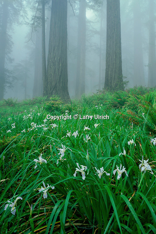 Douglas iris and coast redwoods<br />