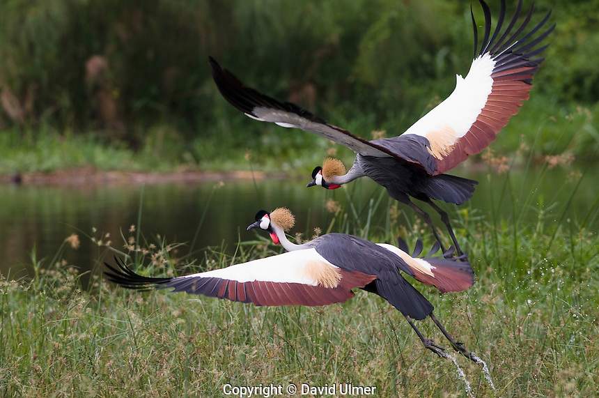 Two Gray crowned cranes take flight.