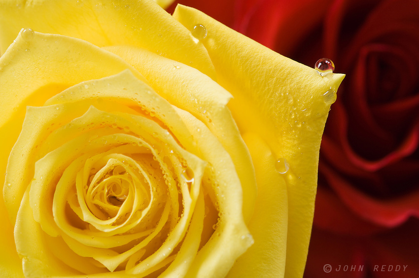 detail of yellow rose w/red roses in background