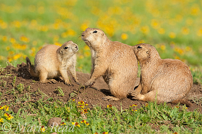Black-tailed Prairie Dogs (Cynomys ludovicianus), family group of three (2 adults, one young) outside their burrow, Wichita Mountains NWR, Oklahoma, USA