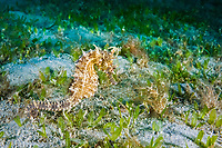 Lined seahorse Hippocampus erectus, West Palm Beach, Florida