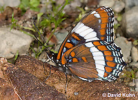 "0704-0806  White Admiral Butterfly ""Drinking Moisture from Animal Feces"", Limenitis arthemis ""Northeast United States Form""  © David Kuhn/Dwight Kuhn Photography"