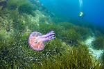 Jellyfish-Méduse (Cnidaria) of Méditerranée.