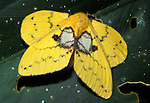 Moth, sp. unknown, Sabah Borneo, yellow with double wings.Borneo....