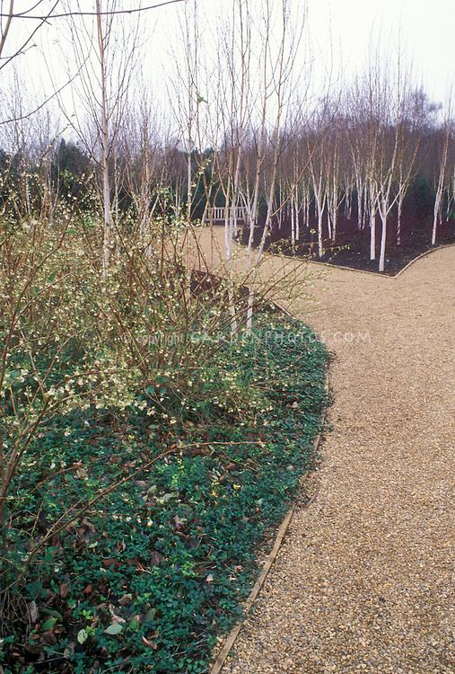 Betula utilis var.  jacquemontii (Whitebarked Himalalyan Birch) & Lonicera standeshii & Vinca in winter bloom