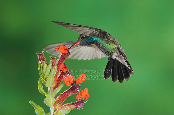 Broad-billed Hummingbird, Cynanthus latirostris, male in flight feeding on Flower,Tucson, Arizona, USA, September 2006
