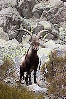 Spanish Ibex - Capra pyrenaica
