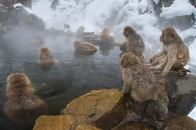 Japanese macaque ( Macaca fuscata ) / snow monkey