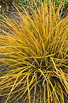 LIBERTIA IXIOIDES 'GOLDFINGER' , NEW ZEALAND IRIS