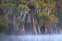 The tranquility of fall color on a moss laden bald cypress as the rising sun illuminates the mist on a swamp in southern Louisiana.