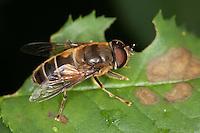 Gemeine Keilfleck-Schwebfliege, Keilfleckschwebfliege, Eristalis pertinax, Tapered Drone Fly, Tapered Drone-Fly