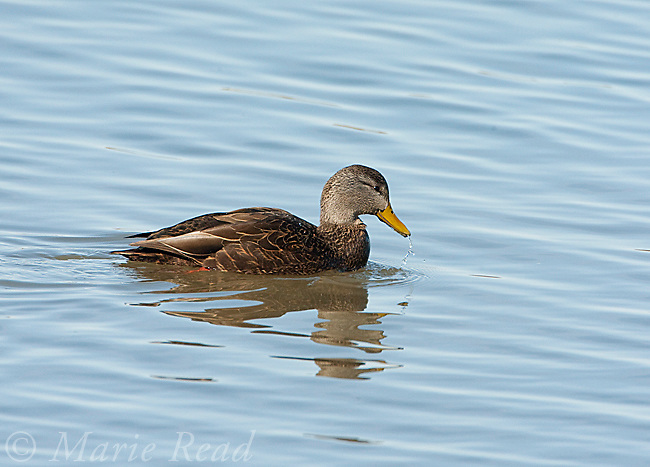 American Black Duck (Anas rubipres) male swimming, New York, USA